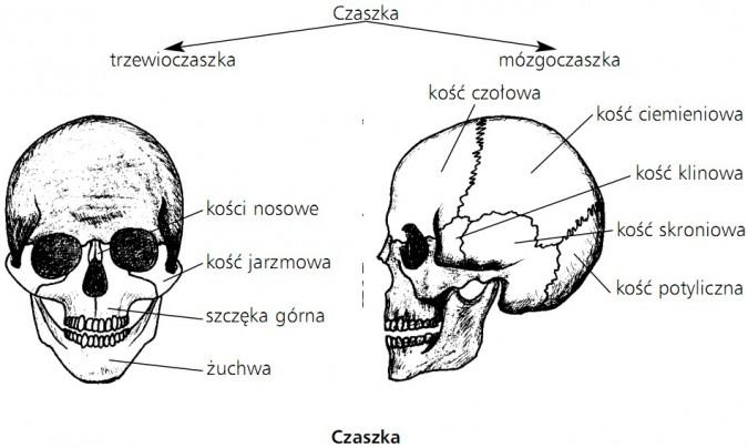 Czaszka. Trzewioczaszka, mózgoczaszka. Kości nosowe, kość jarzmowa, szczęka górna, żuchwa, kość czołowa, kość ciemieniowa, kość klinowa, kość skroniowa, kość potyliczna.