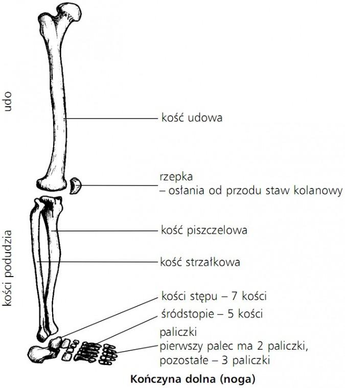 Kończyna dolna (noga). Udo, kości podudzia. Kość udowa, rzepka (osłania od przodu staw kolanowy), kość piszczelowa, kość strzałkowa, kości stępu (7 kości), śródstopie (5 kości), paliczki (pierwszy palec ma 2 paliczki, pozostałe - 3 paliczki).