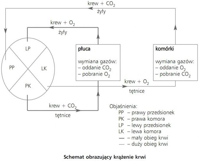 Schemat obrazujący krążenie krwi. Krew, CO2, żyły, O2, tętnice. Prawy przedsionek, lewy przedsionek, prawa komora, lewa komora, mały obieg krwi, duży obieg krwi. Płuca - wymiana gazów - oddanie CO2, pobranie O2. Komórki - wymiana gazów - oddanie O2, pobranie CO2.