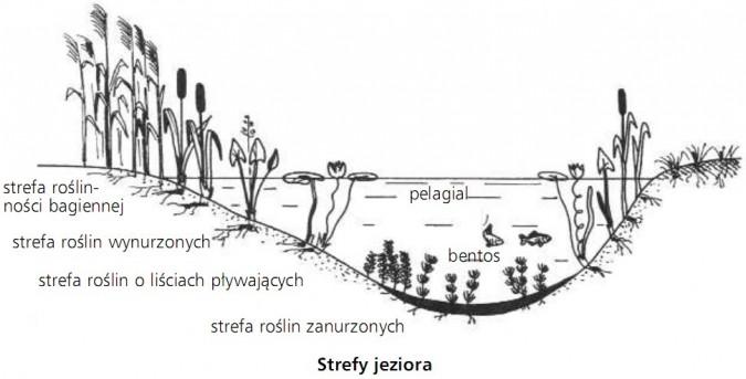 Strefy Jeziora Strefa Roślinności Bagiennej Strefa