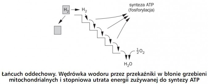 Łańcuch oddechowy. Wędrówka wodoru przez przekaźniki w błonie grzebieni mitochondrialnych i stopniowa utrata energii zużywanej do syntezy ATP. Synteza ATP (fosforylacja). H2, H2O, O2.