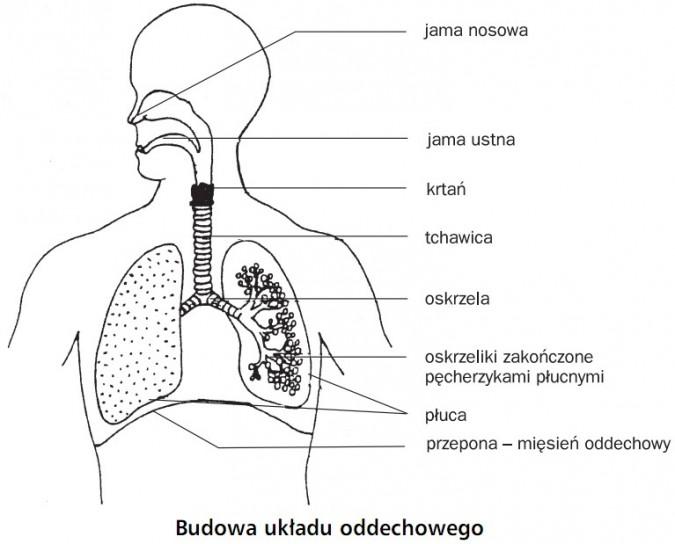 Budowa układu oddechowego. Jama nosowa, jama ustna, krtań, tchawica, oskrzela, oskrzeliki zakończone pęcherzykami płucnymi, płuca, przepona.