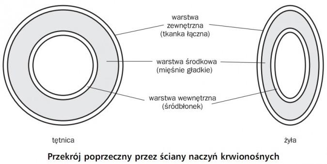 Przekrój poprzeczny przez ściany naczyń krwionośnych. Tętnica, żyła. Warstwa zewnętrzna (tkanka łączna), warstwa środkowa (mięśnie gładkie), warstwa wewnętrzna (śródbłonek).