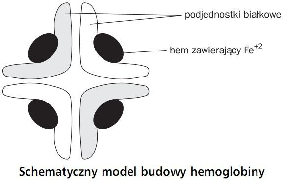 schematyczny_model_budowy_hemoglobiny.jp