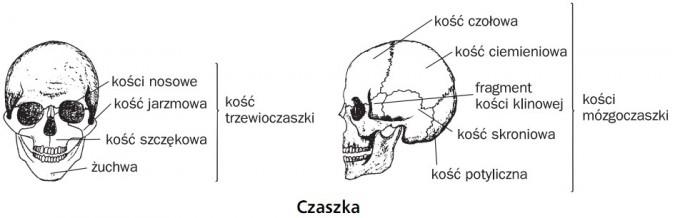 Czaszka. Kość trzewioczaszki: kości nosowe, kość jarzmowa, kość szczękowa, żuchwa. Kości mózgoczaszki: kość czołowa, kość ciemieniowa, fragment kości klinowej, kość skroniowa, kość potyliczna.