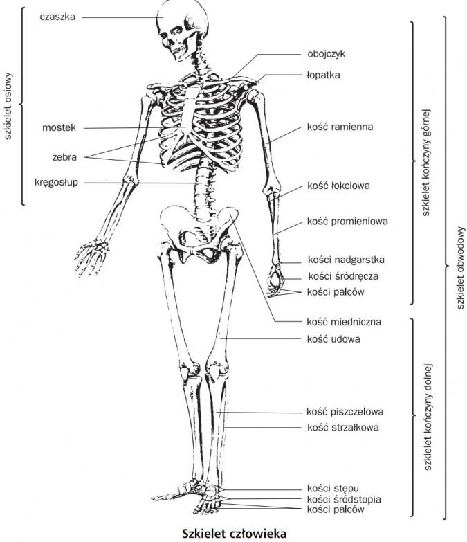 Szkielet człowieka. Szkielet obwodowy, szkielet osiowy, szkielet kończyny dolnej, szkielet kończyny górnej. Czaszka, mostek, żebra, kręgosłup, obojczyk, łopatka, kość ramienna, kość łokciowa, kość promieniowa, kości nadgarstka, kości śródręcza, kości palców, kość miedniczna, kośc udowa, kość piszczelowa, kość strzałkowa, kości stępu, kości śródstopnia, kości palców.