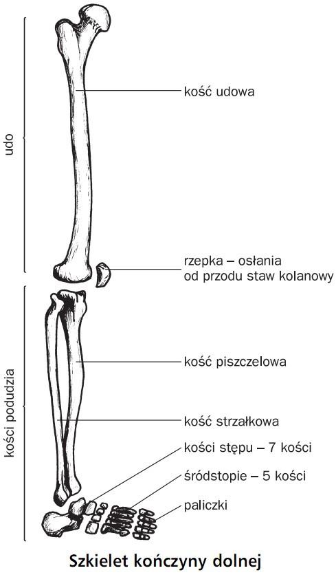 Układ Szkieletowy Anatomia Ludzka