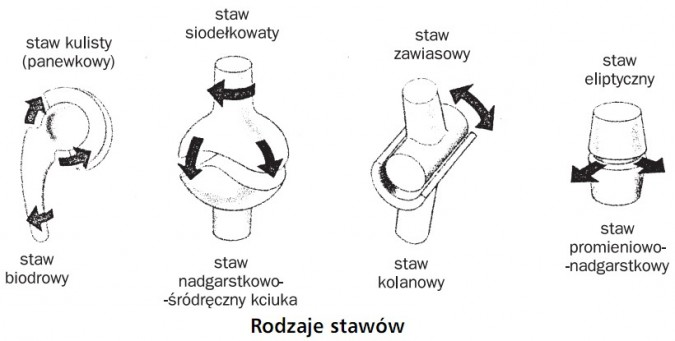 Rodzaje stawów. Staw kulisty (panewkowy) - staw biodrowy; staw siodełkowaty - staw nadgarstkowo-śródręczny kciuka; staw zawiasowy - staw kolanowy; staw eliptyczny - staw promieniowo-nadgarstkowy.