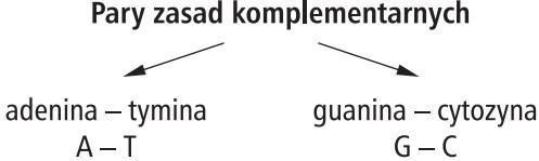 Pary zasad komplementarnych. Adenina - tymina (A-T), guanina - cytozyna (G-C).