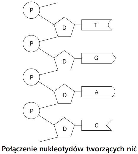 Połączenie nukleotydów tworzących nić.